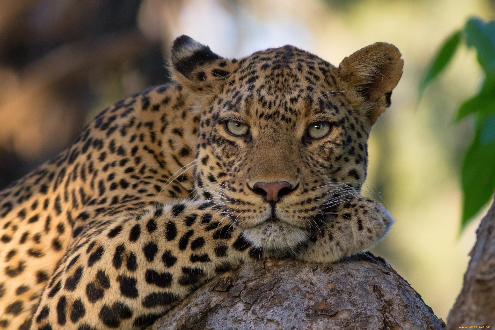 Картинки на рабочий стол хорошего качества леопард